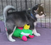 Sakhalin Husky Puppies for sale in Chicago, IL, USA. price: NA