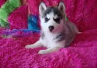 Sakhalin Husky Puppies for sale in Cincinnati, OH, USA. price: NA