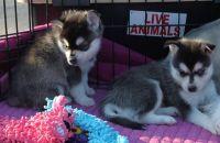 Sakhalin Husky Puppies for sale in Chesapeake, VA, USA. price: NA