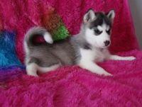 Sakhalin Husky Puppies for sale in Savannah, GA, USA. price: NA