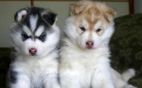 Sakhalin Husky Puppies for sale in Akron, CO 80720, USA. price: NA