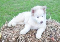 Sakhalin Husky Puppies for sale in Bethany Beach, DE, USA. price: NA