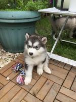 Sakhalin Husky Puppies for sale in Berkeley, CA, USA. price: NA