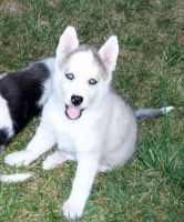 Sakhalin Husky Puppies for sale in Lubbock, TX, USA. price: NA