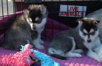 Sakhalin Husky Puppies for sale in Louisville, KY, USA. price: NA