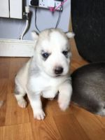 Sakhalin Husky Puppies for sale in Minneapolis, MN, USA. price: NA