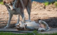 Sakhalin Husky Puppies for sale in Indianapolis, IN, USA. price: NA