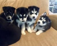 Sakhalin Husky Puppies for sale in Los Angeles City Hall, 200 N Spring St, Los Angeles, CA 90012, USA. price: NA
