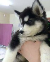 Sakhalin Husky Puppies for sale in Tenerife Rd, Catlett, VA 20119, USA. price: NA