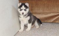 Sakhalin Husky Puppies for sale in Virginia Beach, VA, USA. price: NA