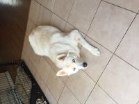 Sakhalin Husky Puppies for sale in Jacksonville, NC, USA. price: NA