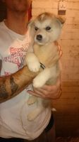 Sakhalin Husky Puppies for sale in California St, Denver, CO, USA. price: NA