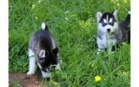 Sakhalin Husky Puppies for sale in Dallas, TX 75230, USA. price: NA