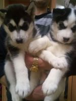 Sakhalin Husky Puppies for sale in Dallas, TX 75270, USA. price: NA