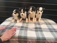 Sakhalin Husky Puppies for sale in Los Angeles, CA 90005, USA. price: NA