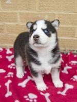 Sakhalin Husky Puppies for sale in Lobelville, TN 37097, USA. price: NA