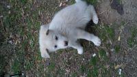 Sakhalin Husky Puppies for sale in Jonesboro, GA, USA. price: NA
