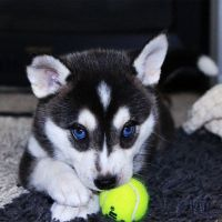 Sakhalin Husky Puppies for sale in Los Angeles County, CA, USA. price: NA