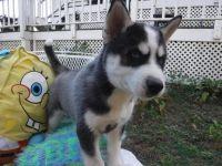 Sakhalin Husky Puppies for sale in Carrollton, TX, USA. price: NA