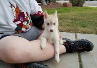 Sakhalin Husky Puppies for sale in Salt Lake City, UT, USA. price: NA