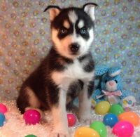 Sakhalin Husky Puppies for sale in Carlsbad, CA, USA. price: NA