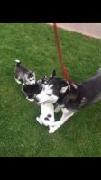 Sakhalin Husky Puppies for sale in Beverly Hills, CA, USA. price: NA