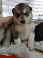 Sakhalin Husky Puppies for sale in Portland, ME, USA. price: NA