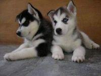 Sakhalin Husky Puppies for sale in Austin, TX, USA. price: NA