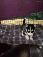 Sakhalin Husky Puppies for sale in Pottsboro, TX 75076, USA. price: NA