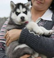 Sakhalin Husky Puppies for sale in North Myrtle Beach, SC, USA. price: NA