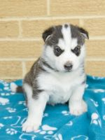 Sakhalin Husky Puppies for sale in Dallas Township, PA, USA. price: NA