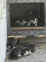 Sakhalin Husky Puppies for sale in Kellyville, OK, USA. price: NA