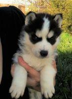 Sakhalin Husky Puppies for sale in Georgia Dome Dr, Atlanta, GA 30313, USA. price: NA