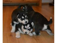 Sakhalin Husky Puppies for sale in Lewes, DE 19958, USA. price: NA
