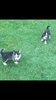 Sakhalin Husky Puppies for sale in New York, NY 10007, USA. price: NA