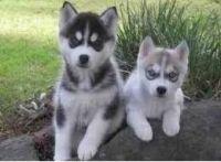 Sakhalin Husky Puppies for sale in Daytona Beach, FL, USA. price: NA