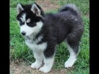 Sakhalin Husky Puppies for sale in Omar Ave, Carteret, NJ 07008, USA. price: NA