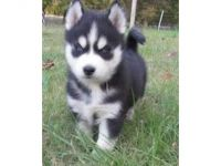 Sakhalin Husky Puppies for sale in Westerville Woods Dr, Columbus, OH 43231, USA. price: NA