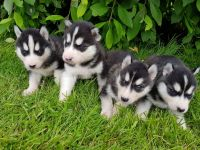 Sakhalin Husky Puppies for sale in Brooklyn, NY, USA. price: NA