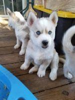 Sakhalin Husky Puppies for sale in San Jose, CA, USA. price: NA