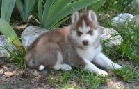 Sakhalin Husky Puppies for sale in Harrisburg, PA, USA. price: NA