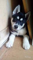 Sakhalin Husky Puppies for sale in Salt Lake City, UT 84105, USA. price: NA