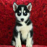 Sakhalin Husky Puppies for sale in San Diego, CA, USA. price: NA