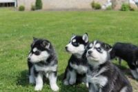 Sakhalin Husky Puppies for sale in State Hwy 295, Washington, DC, USA. price: NA