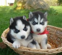 Sakhalin Husky Puppies for sale in Gillette, WY, USA. price: NA