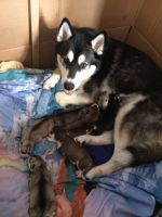 Sakhalin Husky Puppies for sale in Texas City, TX, USA. price: NA