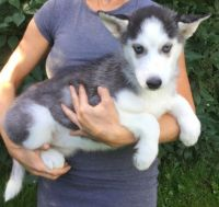 Sakhalin Husky Puppies for sale in California St, San Francisco, CA, USA. price: NA