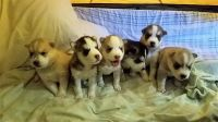 Sakhalin Husky Puppies for sale in NJ-3, Clifton, NJ, USA. price: NA