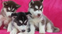 Sakhalin Husky Puppies for sale in Palo Alto, CA, USA. price: NA