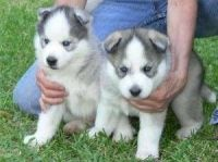 Sakhalin Husky Puppies for sale in Washington Ave, St. Louis, MO, USA. price: NA